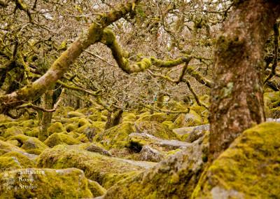 Wistman's Wood, Devon