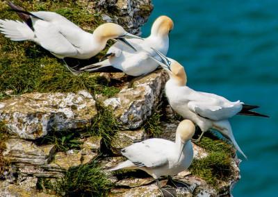 Gannets, Bempton Cliffs
