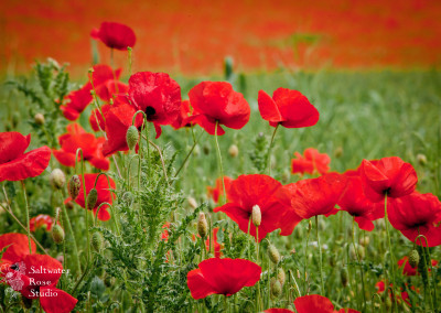 English poppy fields