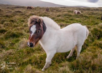 The northernmost Shetland pony, Unst, Shetland